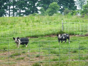 Idaho pasture pigs 2